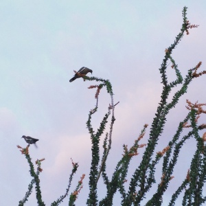 Early morning roost in the Ocotillo